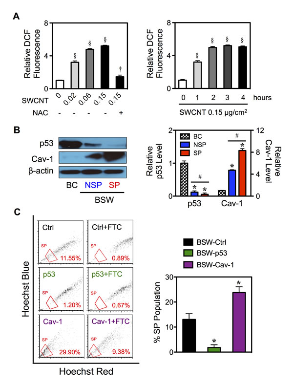 Effects of chronic SWCNT exposure on ROS targeted proteins.