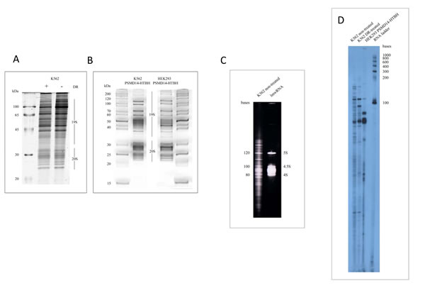 Analysis of small RNAs associated with purified proteasomes from different cell lines.
