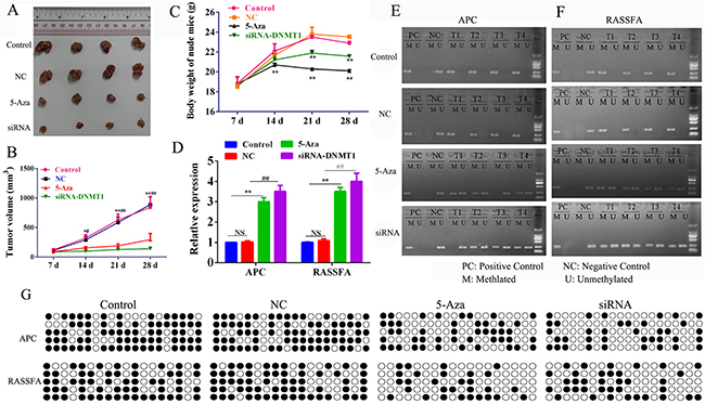 Nude mice (6 per group) were inoculated subcutaneously with 3×106 A549 cells and treated i.p. 500 nM /dose 5-Aza-CR or 10 nM siRNA-DNMT1 or negative control.