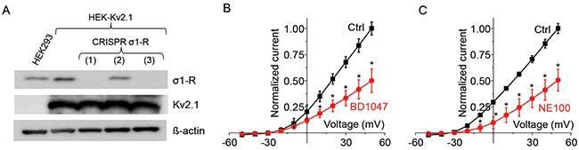 Antagonists inhibits Kv2.1 current after CRISPR/Cas9 mediated σ1-R receptor knockout.
