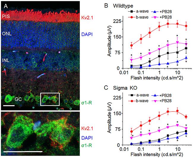 σ-R ligand PB28 attenuate mouse ERG possibly through Kv2.1 inhibition.
