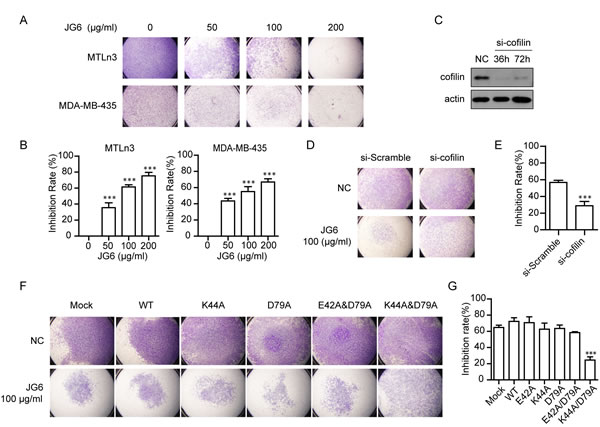 Fig4: JG6 suppresses cofilin-mediated cell migration (A) JG6 inhibits serum-induced migration of breast cancer MTLn3 cells and MDA-MB-435 cells.