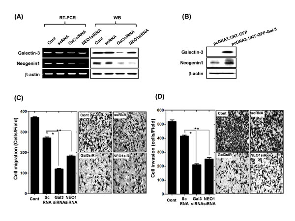 Effect of galectin-3 depletion on the expression of neogenin-1 in human gastric cancer cells (A) mRNA and protein levels of galectin-3 and neogenin-1 after transfection of AGS cells with scrambled siRNA (scRNA), galectin-3 siRNA, or neogenin-1 siRNA.