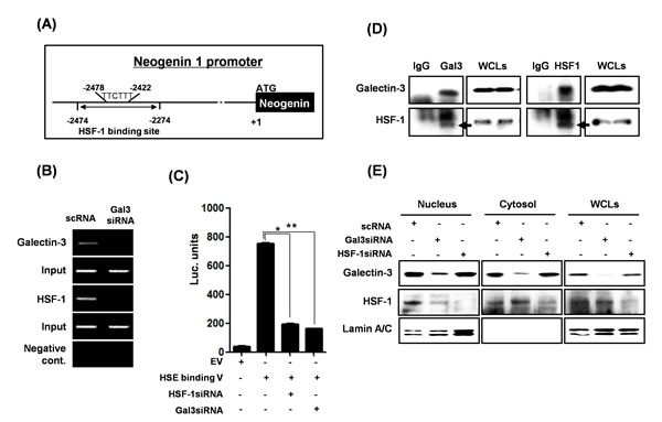 Transcriptional regulation of neogenin-1 through interaction with galectin-3 and HSF-1 transcriptional factor.