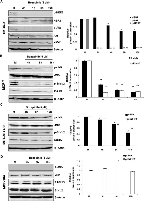 Western blot and densitometric analysis of different proteins related with cancer cell proliferation after treatment with 5 µM of Bozepinib.
