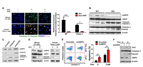 Adiponectin-induced AMPK phosphorylation is essential for the anti-apoptotic effect.