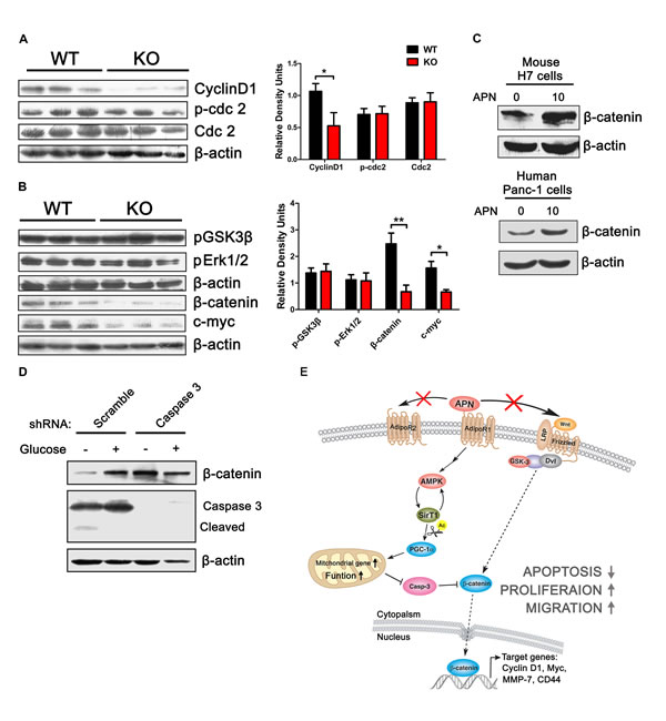 Adiponectin can elevate β-catenin and cyclinD1 levels.