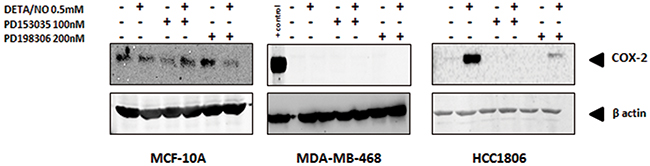 Induction of COX-2 by NO in HCC1806 is suppressed by EGFR or MEK inhibitiors.