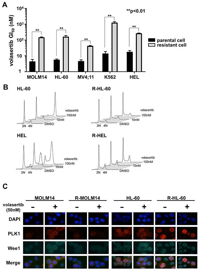 Establishment of volasertib-resistant cells and resistant mechanism of volasertib.