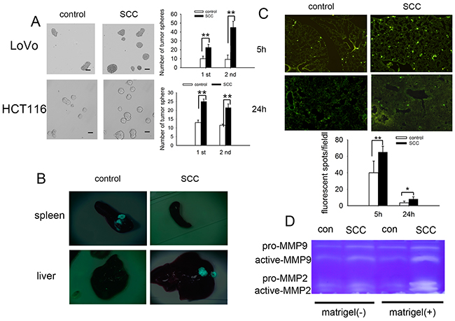 SCCs enriched by cell cycle inducer combined chemotherapy are stem-cell like and participate in metastatic dormancy.