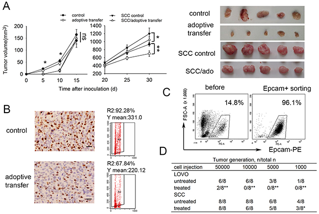 SCCs enriched by cell cycle inducer combined chemotherapy are less sensitive to DC-CIK adoptive immunotherapy in vivo.