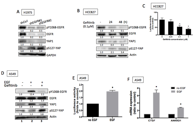 EGFR signaling promoted YAP1 expression and activity.
