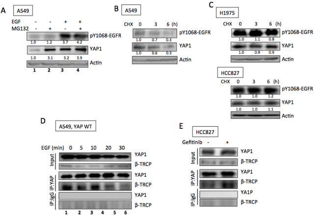 EGFR promoted YAP1 stabilization.