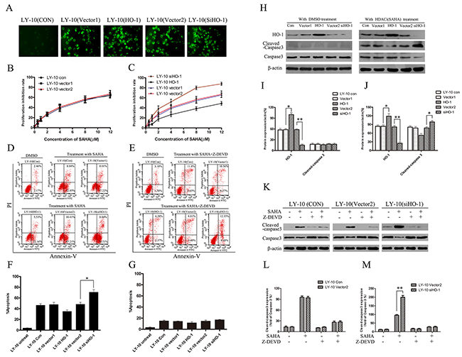 Silencing HO-1 gene expression sensitized LY-10 cells to apoptosis induced by vorinostat (SAHA).