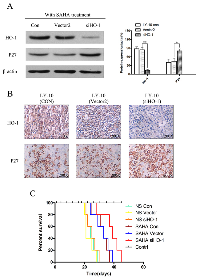 Silencing HO-1 gene expression potentiated SAHA to induce tumor proliferation inhibition and prolonged survival time in xenograft mouse model.