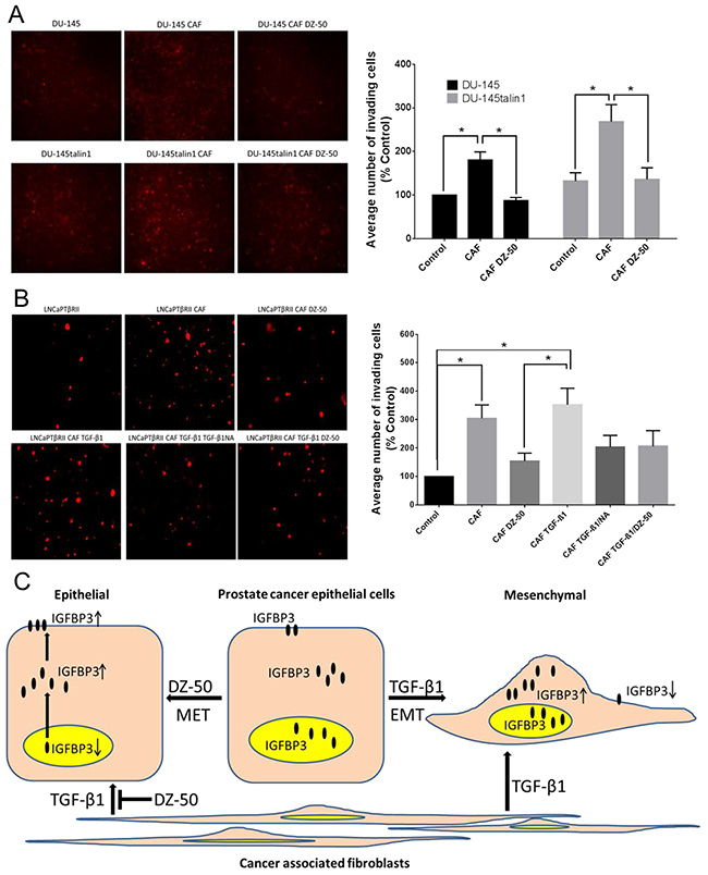 Effect of DZ-50 on CAF-mediated migration of prostate cancer cells.