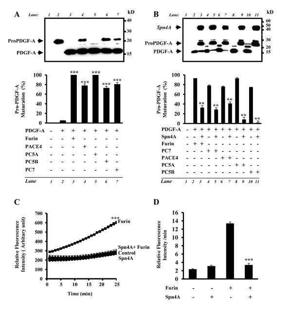 Inhibition of cellular secretory proprotein convertases by Spn4A.