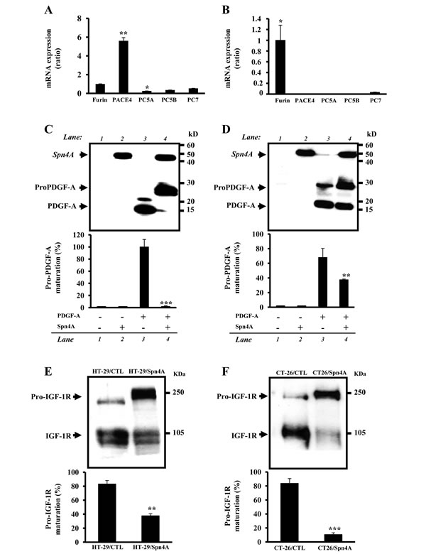 Inhibition of endogenous PCs activity in colon cancer cells by Spn4A.