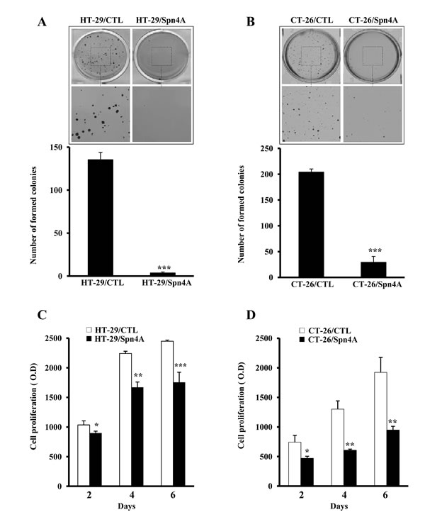 Inhibition of anchorage-independent growth and proliferation of colon cancer cells by Spn4A.