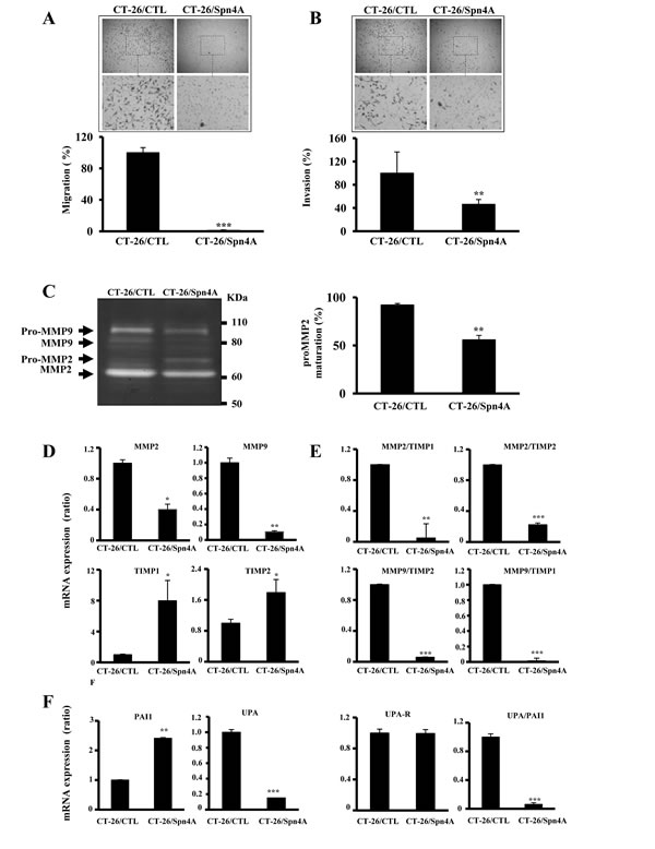 Effect of Spn4A on tumor cell migration and invasion.