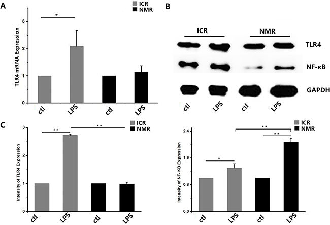 LPS-stimulated inflammatory responses in naked mole rat and ICR mouse macrophages.