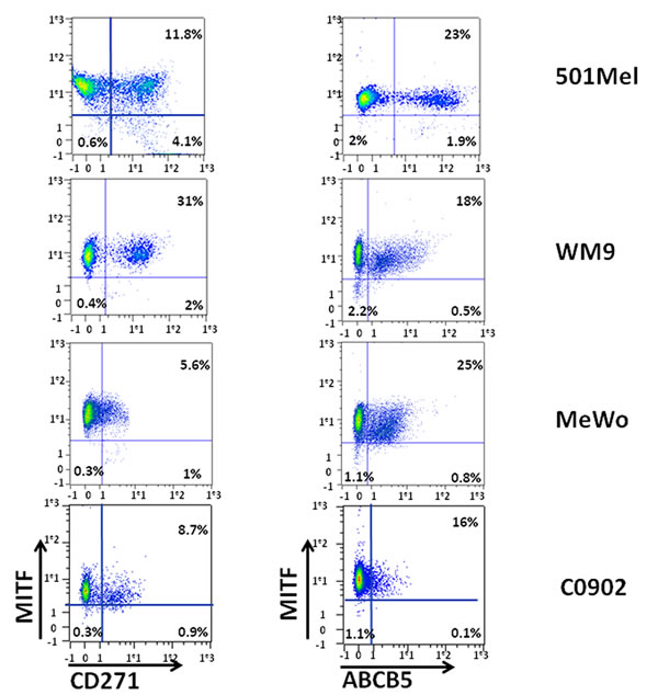 Analysis of MITF expression in CD271 and ABCB5 populations