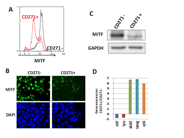 CD271 is enriched in the low-MITF population.