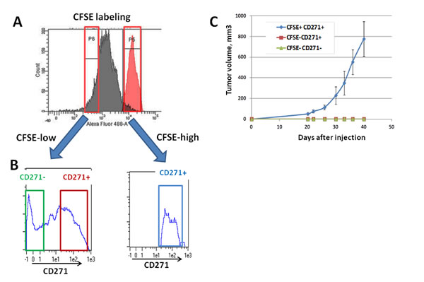 Analysis of the tumorigenicity of the different CD271 populations