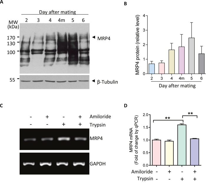 Upregulation MRP4 by ENaC activation during embryo implantation.