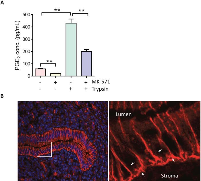 MPR4 mediates ENaC activation-triggered PGE2 release.