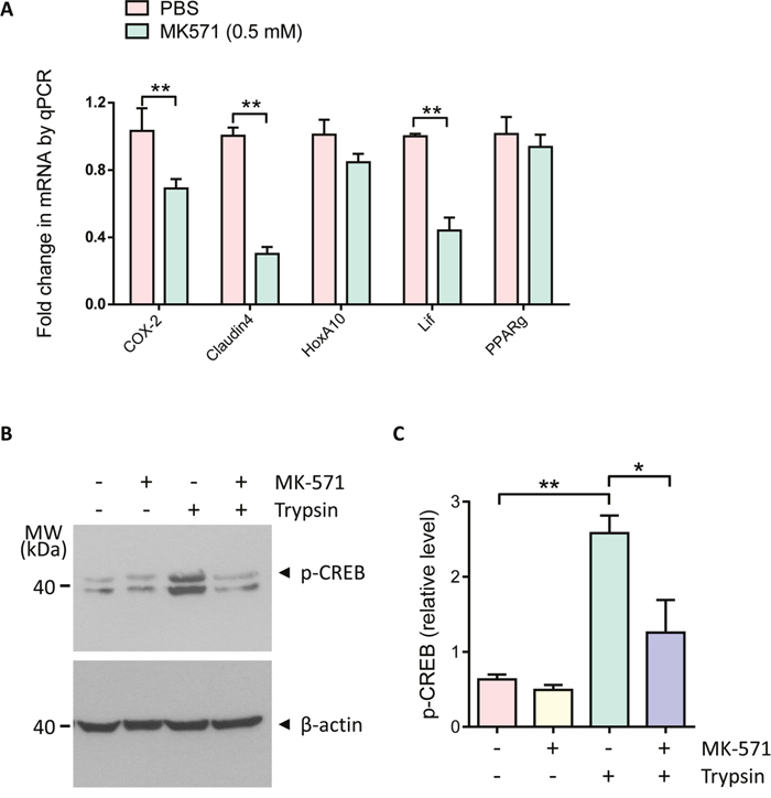 Involvement of MRP4 in regulation of embryo implantation gene expression and CREB/COX-2 signaling.