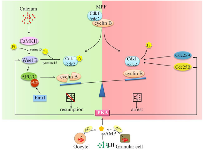Molecular and signal mechanism underpinning oocyte arrest and cell resumption.
