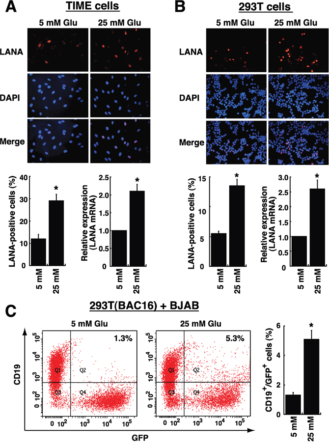 High glucose increases cell susceptibility to KSHV infection.