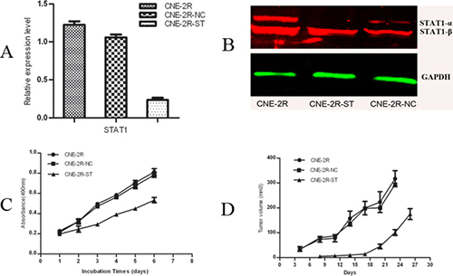 Inhibition of STAT1 decreases cell growth and tumor formation.
