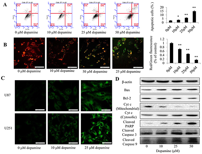 Dopamine treatment induced mitochondrial dysfunction.