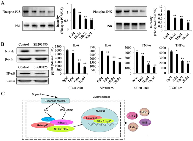 Dopamine suppressed the inflammatory response by partially regulating MAPK signaling by targeting p-p38 and p-JNK in glioma.