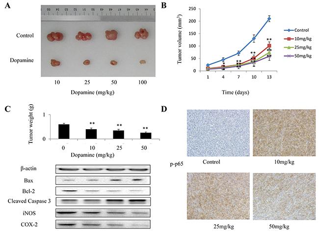 The in vivo anti-tumor efficacy of dopamine was analyzed in xenograft mice.