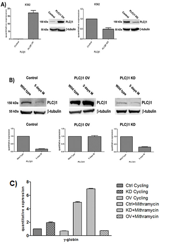 Fig 2: Effect of PLCβ1 modulation on the MTH erythroid differentiation of K562 cells.