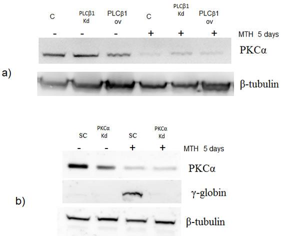 Fig 5: PKCα levels decrease in K562 cells overexpressing PLCβ1.