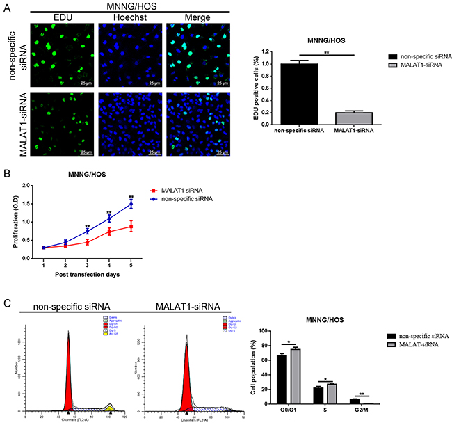 Down-regulation of MALAT1 inhibited cell proliferation while induced cell cycle arrest in MNNG/HOS cells MNNG/HOS.