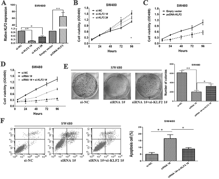 LL22NC03-N64E9.1 negatively regulates expression of KLF2 by rescue experiments.