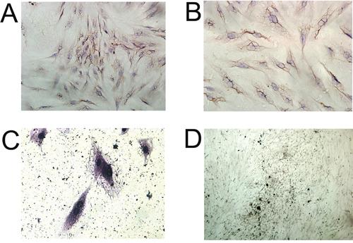 Immunocytochemical analysis of BMSCs.