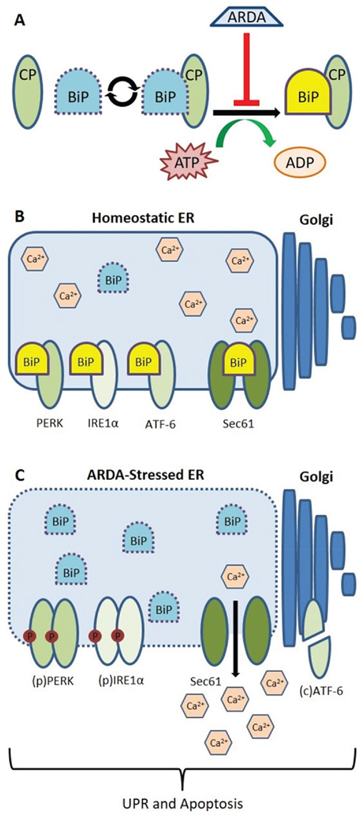 Illustrative model predicting ARDA-mediated disruption of BiP/Grp78 function and consequent induction of the UPR.