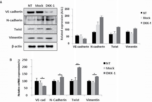 DKK-1 increases the expression of endothelial–mesenchymal transition (EnMT) markers in HUVECs.