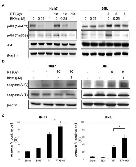 BKM120 inhibits radiation-activated PI3K/Akt signaling and enhances radiation-induced apoptosis in Huh7 and BNL cells.
