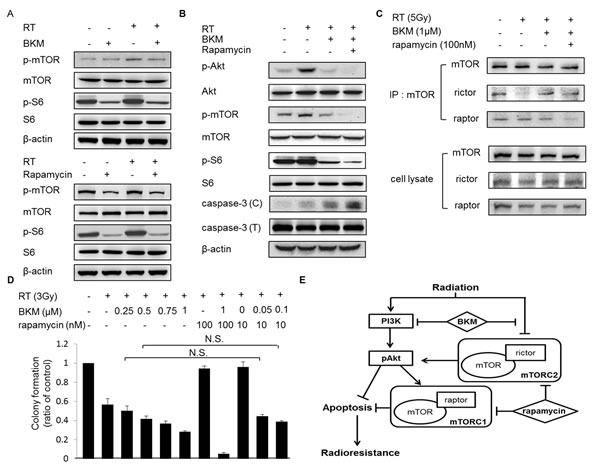 The addition of rapamycin to BKM120 enhances the inhibition of mTOR and Akt phosphorylation and increases caspase-3 activation in irradiated BNL cells.