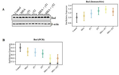 Effects of MSA and/or γT on Bad protein and mRNA.