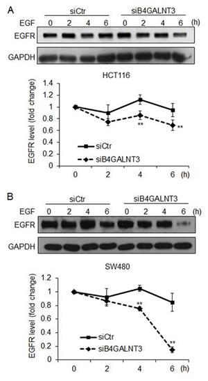 B4GALNT3 knockdown enhances protein degradation of EGFR.