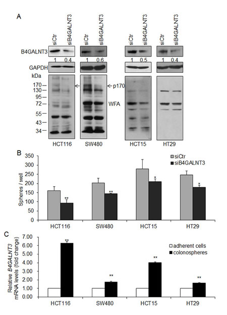 B4GALNT3 knockdown decreases sphere formation in colon cancer cells.