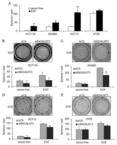 B4GALNT3 regulates EGF-induced sphere formation in colon cancer cells.